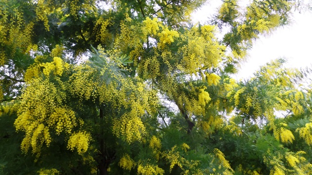 Mimosa in the garden almost fully out!