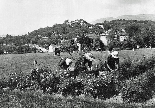 Early postcard view of flower pickers at Opio for the perfume industry