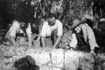 Collecting olives c.1949