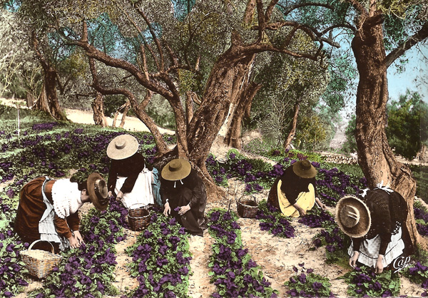 Early postcard view of women picking violets for the perfume industry  near Opio village